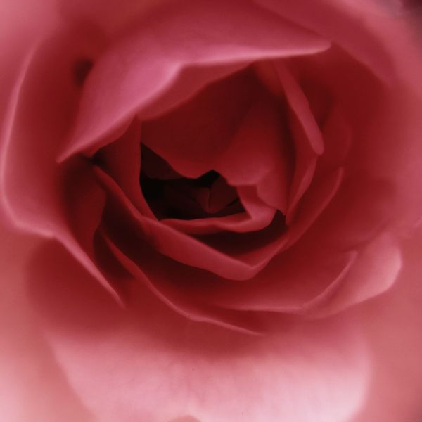 Flower The Rose Pink Rose Nature