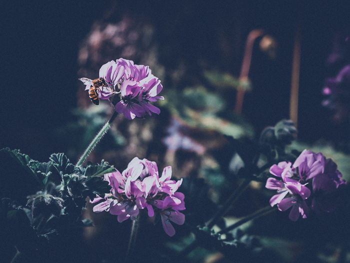 Flower Plant Fragility Nature Beauty In Nature Freshness Growth Pink Color No People Outdoors Close-up Flower Head Bee Pollination Garden Mystical Flowers Purple Flower Buds Light And Shadow Leaves Blurred Background Shallow Depth Of Field