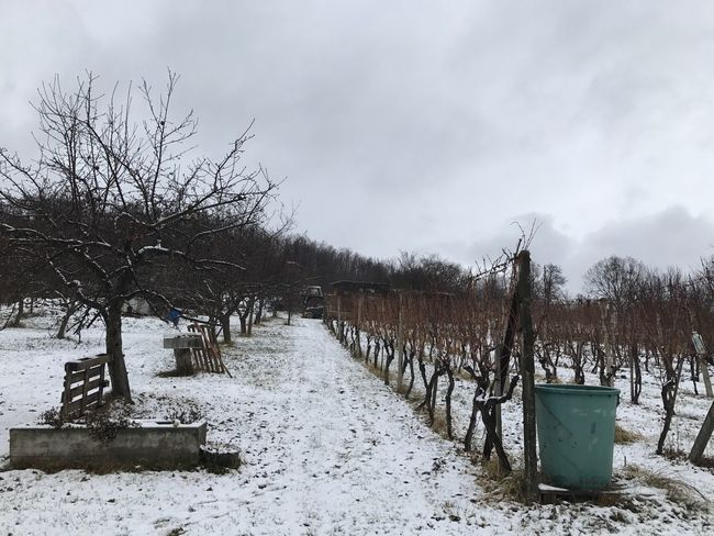 Vineyard. Stary Haj, NR. Krupina Slovakia Christmastime Winter Nature Nature_collection Vine Vineyards  Vineyard Tree Trees Landscape