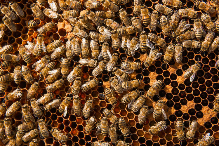 Beehive Honeycomb APIculture Bee Honey Bee Animal Themes Insect Animals In The Wild Animal Animal Wildlife Invertebrate Group Of Animals Close-up Large Group Of Animals Full Frame No People Honey Beauty In Nature Hexagon Abundance