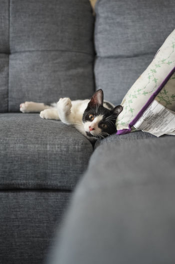 Domestic Pets Mammal Domestic Animals Cat Domestic Cat One Animal Feline Sofa Furniture Indoors  Vertebrate Portrait Relaxation People Selective Focus Lying Down Looking At Camera Whisker