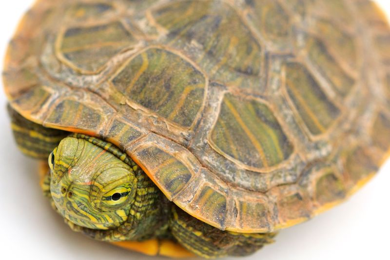 Home sweet home Red-eared Slider Reptile Turtle Love Home is Where the Art is Green Color Pet Portraits Hiding In Plain Sight Pets Of Eyeem Cute Pets Cute Tortoise Shell Tortoise Reptile Pets Turtle Animal Shell Close-up Slow Shell