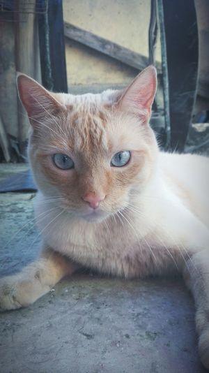 Gatu Cat♡ Eyes I<3u Cat Lovers Cat Photography Domestic Cat CatindoorCateyes Twoyears Cats Of EyeEm Catlovers Cats 🐱 Cats Cat