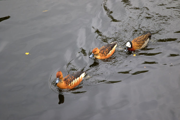 Regents park - London Animal Themes Animals In The Wild Beautiful Nature Beauty In Nature Bird Duck EyeEm Nature Lover Lake Naturaleza Nature Nature Nature_collection Nature On Your Doorstep Nature Photography Nature_collection Nature_perfection Naturelovers Naturephotography Natureza Recreational Pursuit Swimming Water Waterfront Wildlife Zoology