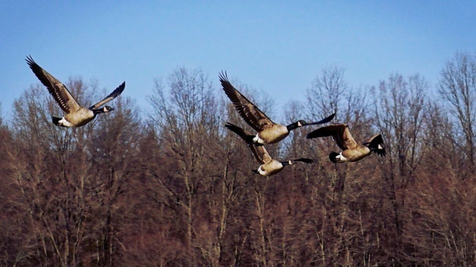 Geese Canadian Geese Birds EyeEm Birds Bird Photography Flock Of Birds Park
