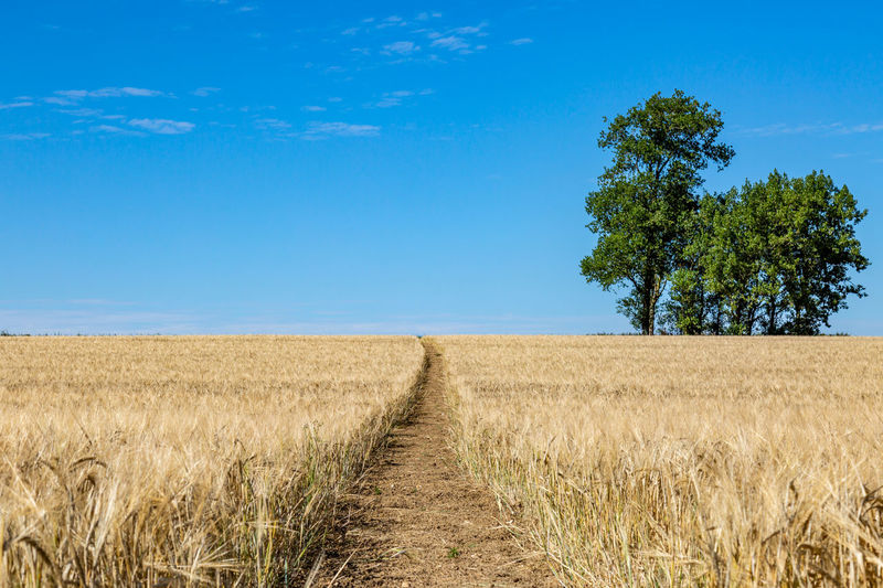 A pathway through a field of wheat that is ready for harvesting, in Sussex Trees Agriculture Blue Cereal Plant Crop  Day Environment Farm Field Growth Horizon Land Landscape Nature No People Outdoors Pathway Plant Rural Scene Scenics - Nature Sky Sussex Tranquil Scene Tranquility Tree
