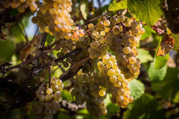 Riesling berries in October Riesling Agriculture Beauty In Nature Bunch Close-up Day Focus On Foreground Food Food And Drink Freshness Fruit Grape Growth Healthy Eating Leaf Nature No People Outdoors Plant Plant Part Plantation Ripe Tree Vineyard Winemaking
