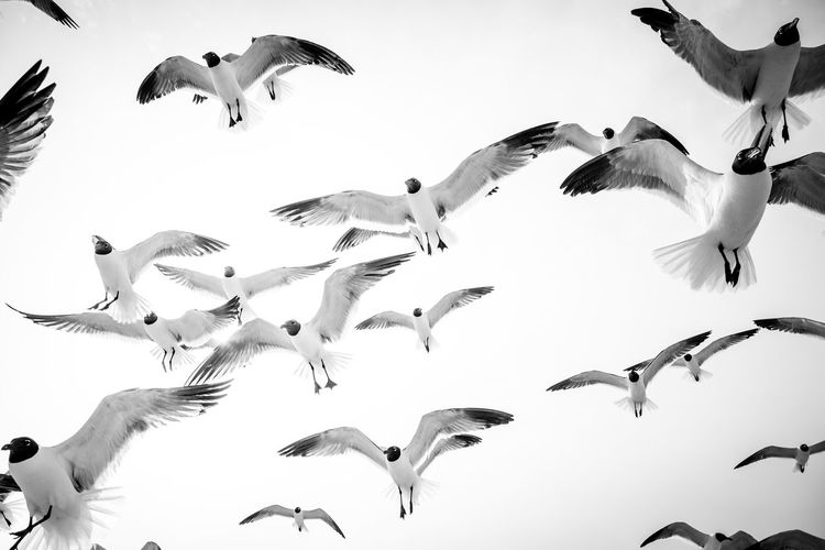 Low angle view of seagulls flying against clear sky