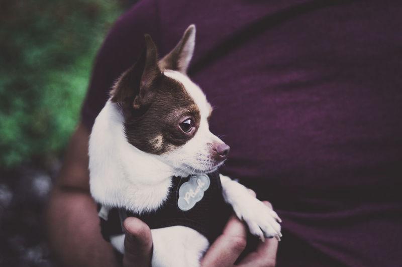 HIGHER| EyeEm Gallery EyeEm Best Edits EyeEm Best Shots Love Chihuahua Animal Themes Cute Close-up Portrait Outdoors Day People