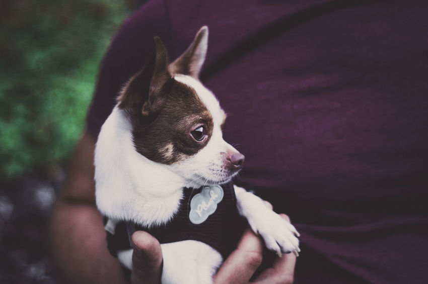 HIGHER| EyeEm Gallery EyeEm Best Edits EyeEm Best Shots Love Chihuahua Animal Themes Cute Close-up Portrait Outdoors Day People