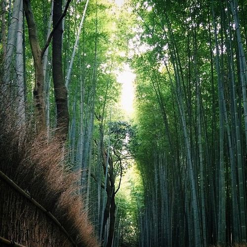 Bamboo forest in Sagano. Kyoto Trees Nature Candjsbigtrip2014 VSCO Vscophile Vscojapan Travelling Travelandleisure @travelandleisure