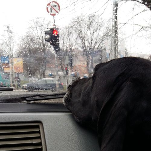 Instagram Instadog Deutch Kurzhaar bracoaleman bracchi cuiccoli braccotedesco german shorthaired bird dog nkd ilovemydog instalove