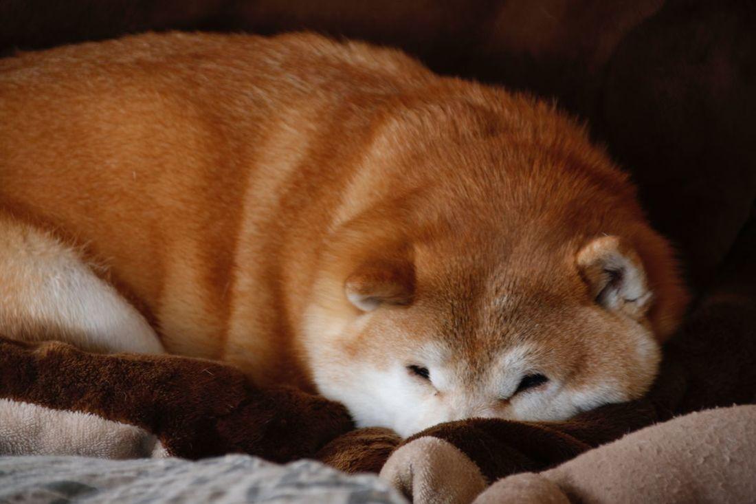 おやすみ。 雪遊び其の壱 http://www.youtube.com/watch?v=_AbXeWfi5x4 雪遊び其の弐 http://www.youtube.com/watch?v=et40I4deK3A おやすみ あんず しばいぬ Shibainu Anzu Goodnight Snow 雪遊び