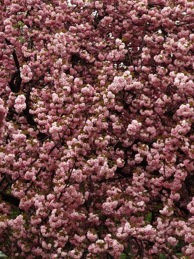 Pink flowers blooming on tree