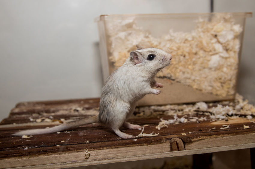 Animales Animals Domestic Animals Gerbil Jerbo Maus Mouse One Animal Pet Ratón Rennmaus Tiere
