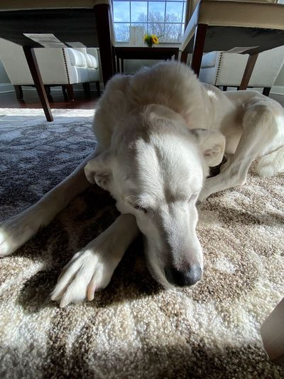 Close-up of dog resting at home