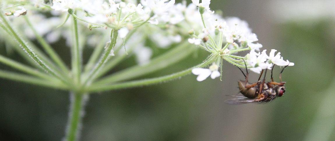 Fly Hanging Out Check This Out Relaxing Enjoying Life Cow Parsley Barrowford Do This