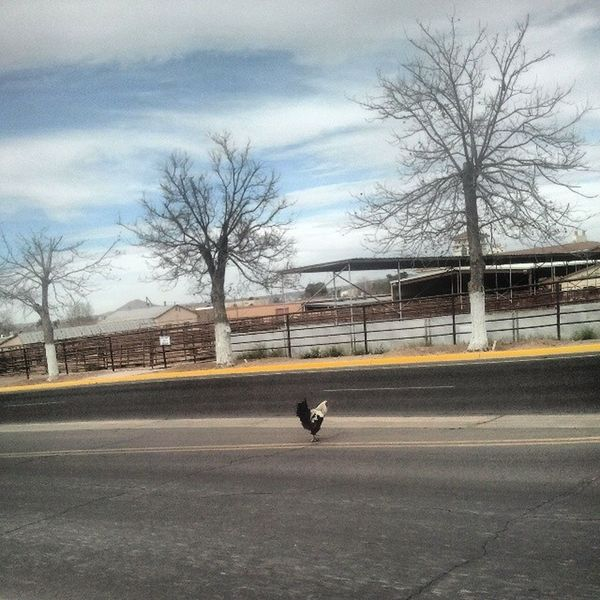 Why Did The Rooster Cross The Rode? Nmsu FarmAnimal