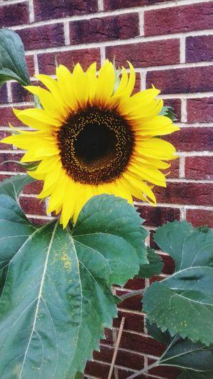 sunflower Flower Head Flower Yellow Leaf Sunflower Petal Close-up Blooming Architecture Plant Pollen