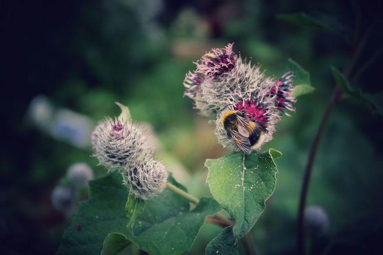 Bumblebee Bumble Bee Bumblebee On Flower Bumblebeesonflowers Thistle Thistle Flower Thistle Bud Sweden Summer