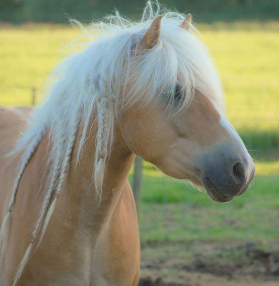 Beautiful Haflinger horse. 🐴 Eye4photography  Eyembestshots Horse Paard Pony Haflinger Pferde EyeEmBestPics Nikonphotography Nikon EyeEm Best Shots Eye4photography  EyeEm Gallery Sweet