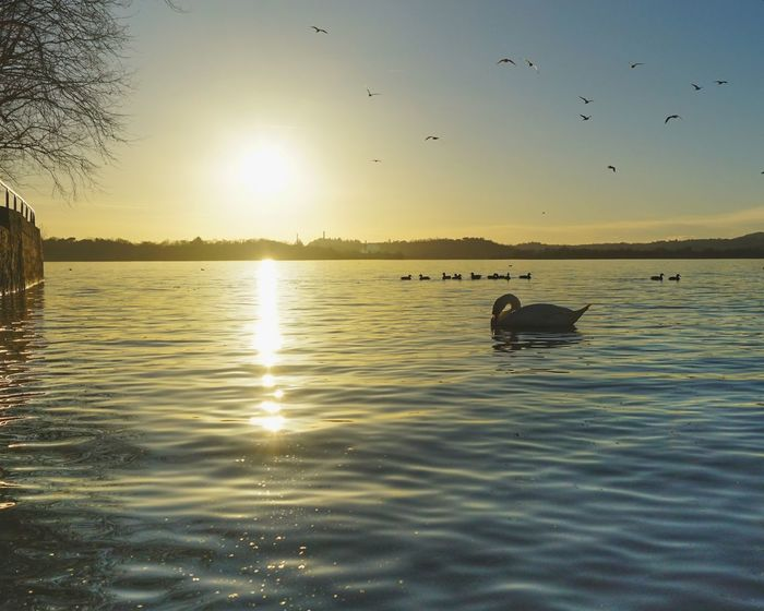 Sunset, lake A7r2 Acqua Sony Uccello Wild Italy Zeiss Swan Imbrunire Luca Riva Sal24f20z Sunset Bird Flying Water Lake Nature Reflection Animal Wildlife Animal Sun Beauty In Nature Flock Of Birds Sky Vacations Tranquility Outdoors