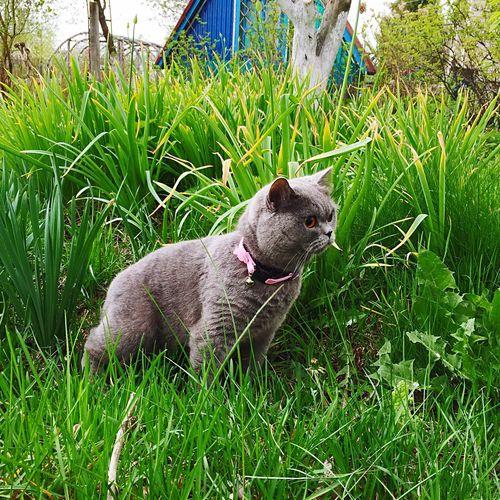 Green Color Garden Garden Photography Cat In Garden Grass Cat In Garden British Shorthair