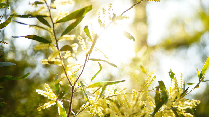 Back Light Sunlight Wattles Wattle Flower Yellow Flower Plant Beauty In Nature Nature Selective Focus Day Tranquility Plant Part Close-up Vulnerability  Freshness Bright Spring