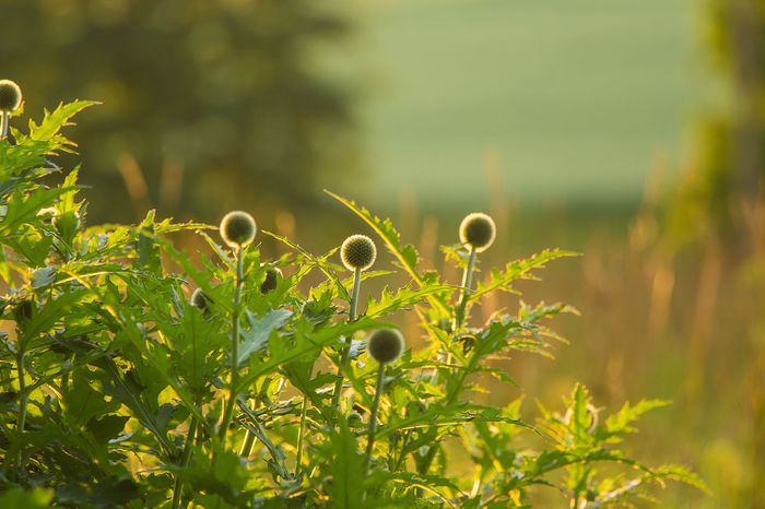 A beautiful decorative thistle heads in the sunset light. Shallow depth of field closeup photo. Low evening light with flares. Nature Plant Beauty In Nature Decorative Flower Garden Smmer Thistle