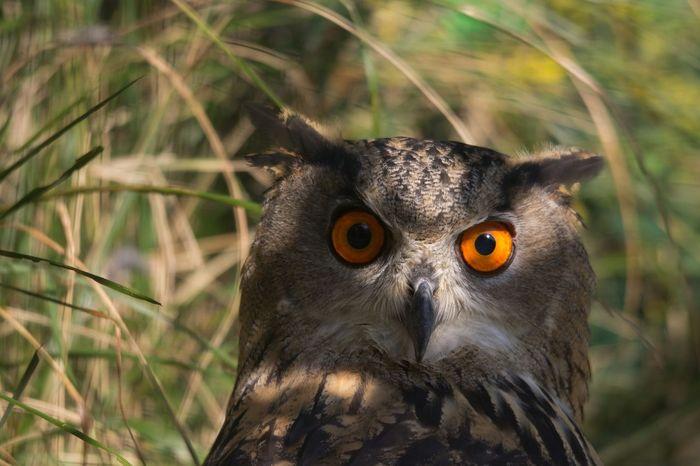 Howl búho gufo eyes orange naranja ave hawk park national parque