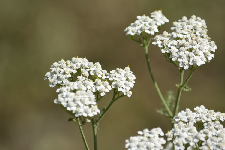 Close-Up Of White Flowers Blooming Outdoors