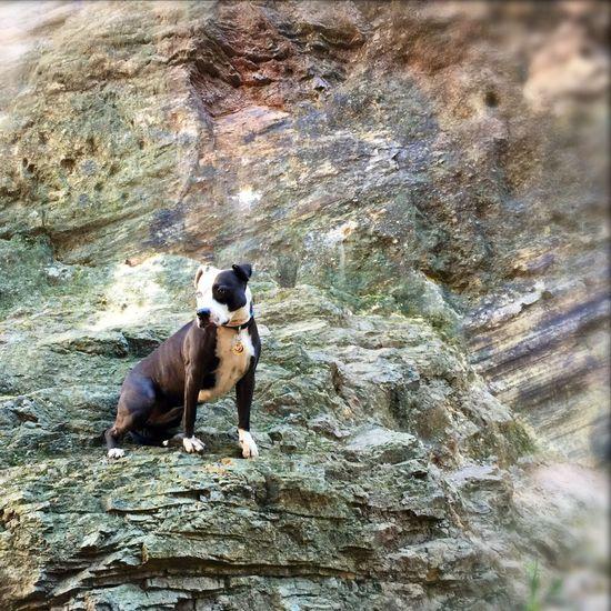 Pets Corner Spoon The Dog Heterochromia Rocks Corona Heights Staffy Pitbull