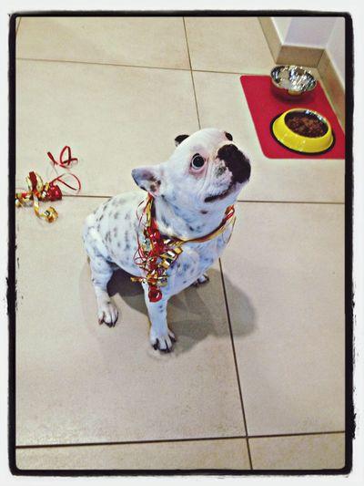 Guigou ❤ French Bulldog Bulldog Français
