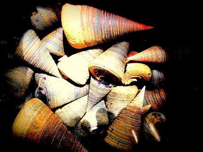 Cone Shell Gastropod Mollusk Horn Snail Velvet Telescopium Pattern Marine Life Marinebio Marinebiologist EyeEm Nature Lover Eye4photography  Eyemphotography Eyeem Philippines Patterns In Nature Pattern, Texture, Shape And Form Spiral Showcase: February