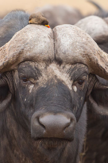 Portrait of african buffalo with oxpeckers, kruger park, south africa