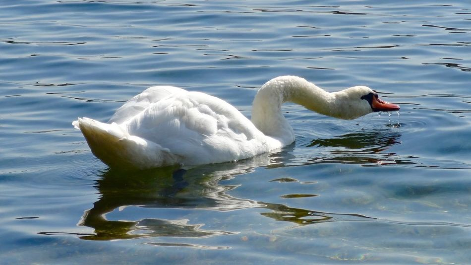 Animal Themes Animals In The Wild Beak Beauty In Nature Bird Blue Floating On Water Lake Nature No People Reflection Rippled Side View Swan Swimming Tranquil Scene Tranquility Water Water Surface Waterfront Wildlife Zoology