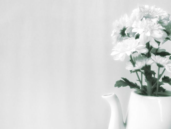 Soft image of white chrysanthemum flowers are blooming in ceramic tea pot on flowers decorations design concept, monochrome style with copy space Ceramic Vase Art Floral Tea Pot Design Petal Pollen Branches Stalk Interior Chrysanthemum Flowers Bouquet Blossom Decoration Space Monochrome Green White Soft Image Tea Pot Blooming Flower Head Flower Winter Backgrounds Branch In Bloom Botany