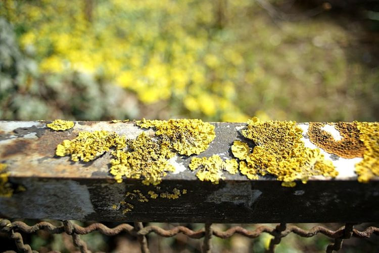 Hormonized background Lichen Moss Rusty Rusty Metal Lichen On Metal Background Defocus Blurry Background Wideangle Yellow Green Outdoors Beauty In Nature Textured  SONY A7ii Würzburg
