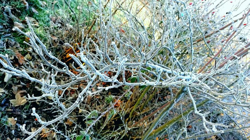 Beautiful nature Beauty In Nature Close Up Day Frost Frosty Growth Nature ND Productions No People Outdoors Tree Winter Wintertime