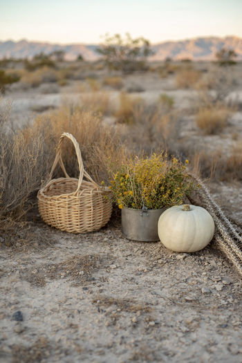 White pumpkin, wildflowers, dried cactus, basket in mojave desert earth autumn colors