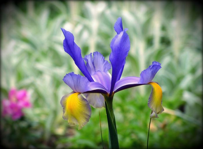 Beauty In Nature Blooming Blossom Close-up Colorful Flowers Floral Floral Perfection Flower Flower Collection Garden Garden Photography Green Color Iris Irises Nature Nature Photography Nature_collection No People Outdoors Purple Purple And Gold Purple And Gold Flowers Purple Iris Single Flower Yellow