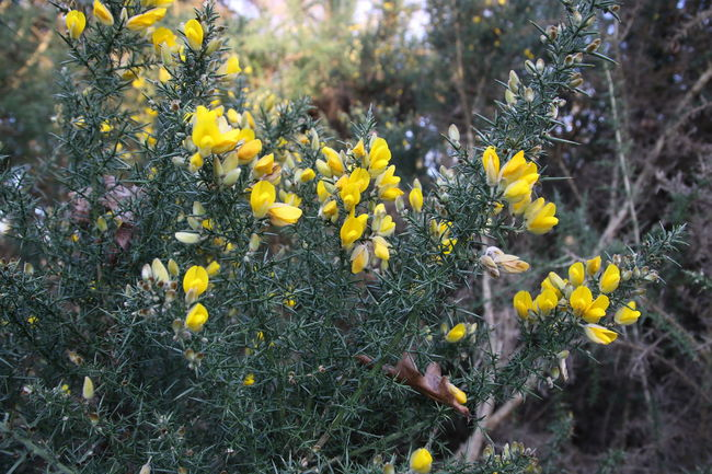 Beauty In Nature Blooming Chobham Common Close-up Day Flower Flower Head Fragility Freshness Gorse Bush Growth Nature No People Outdoors Plant Surrey Countryside Walking Yellow