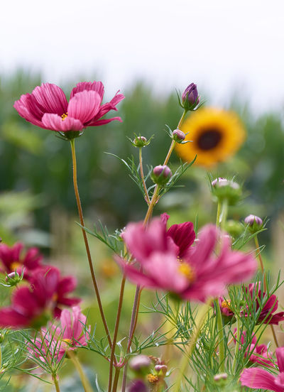 Pink flowers in a field Nature Beauty In Nature Close-up Cosmos Flower Day Flower Flower Head Flowering Plant Flowers Fragility Freshness Growth Inflorescence Nature No People Outdoors Petal Pink Color Pink Flowers Plant Plant Stem Selective Focus Vulnerability