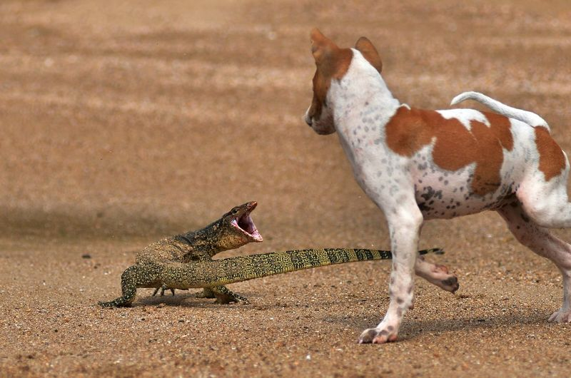 Reptile And Dog On Beach