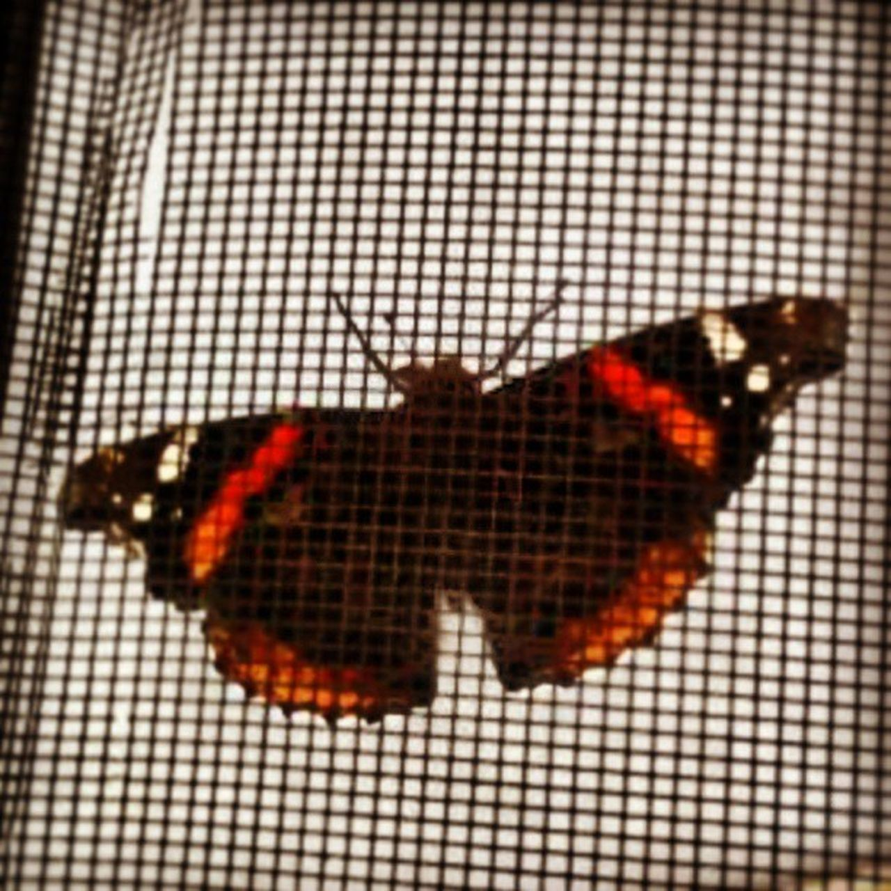 animal themes, insect, one animal, animals in the wild, no people, close-up, animal wildlife, butterfly - insect, pattern, animal markings, red, indoors, nature, day