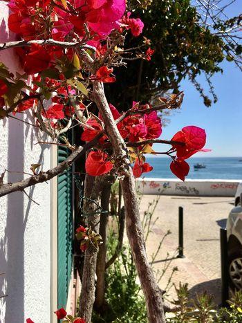 Flower Iphonephotography Blauer Himmel Lisboa Portugal Am Meer Pink Bougainvilla Sun Sunny Day
