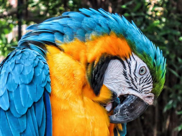 Close up of a blue and Gold Macaw. Animal Themes Animal Wildlife Animals In The Wild Beak Beauty In Nature Bird Blue Close Up Nature Close Up Photography Close-up Day Gold And Blue Macaw Macaw Macaw Parrot Nature One Animal Outdoors Parrot
