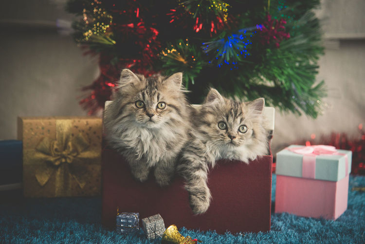 Portrait of cats in box against christmas decoration