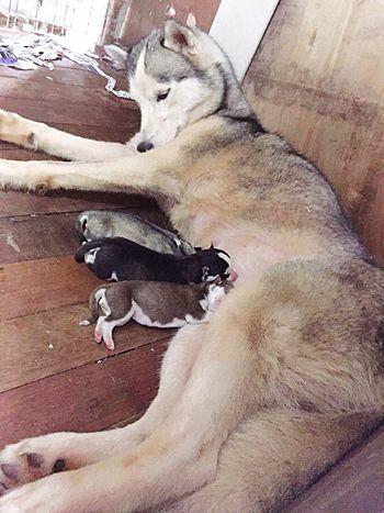 Mother's instinct. Dogs Siberian Husky Milkingtime Motherslove Nature Photography