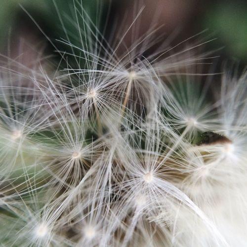 Close-up of dandelion on plant